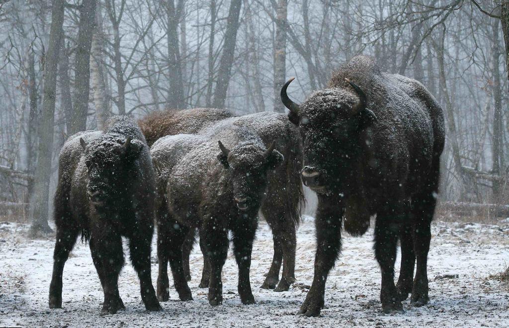 La mère de tous les bisons / Antony Kettal, Roger Owen, réal. |
